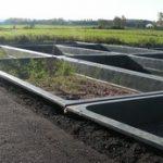 Plantation des roseaux